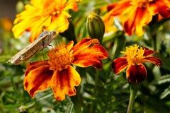 papillons ?t? La beaut? naturelle de la Russie photo libre de droits