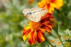 papillons ?t? La beaut? naturelle de la Russie photos stock