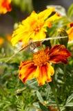 papillons ?t? La beaut? naturelle de la Russie images stock