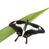 Papilo - Papilio phorcas Royalty Free Stock Photos