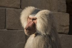 Baboon, Papio, a portrait. Papio, the Baboon is a monkey and lives in Africa royalty free stock images