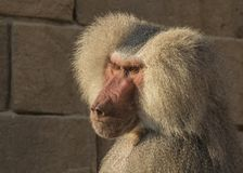 Baboon, Papio, a portrait. Papio, the Baboon is a monkey and lives in Africa stock image