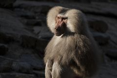 Baboon, Papio, a portrait. Papio, the Baboon is a monkey and lives in Africa stock photography