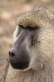 Papio Cynocephalus Yellow Baboon in Africa. Face of a Papio Cynocephalus Yellow Baboon in Kenya national park in Africa stock photography