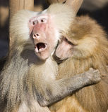 papio de hamadryas de babouin Image libre de droits