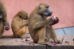 Papio de Papio de babouin de la Guinée image libre de droits