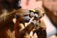 Papio del babbuino immagini stock