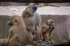 Papio del Papio del babuino de Guinea Fotos de archivo libres de regalías