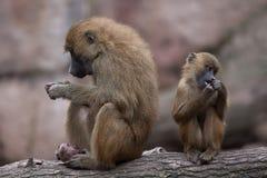 Papio del Papio del babuino de Guinea Foto de archivo