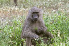 papio för anubisbaboonsolivgrön Arkivfoto