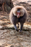 Papio Hamadrias de babouin de Hamadryas Photos stock