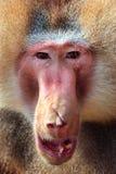 Papio Hamadrias de babouin de Hamadryas Image libre de droits