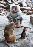 Papio hamadryas / baboon family Royalty Free Stock Photo