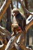 Papio. Papio Cynocephalus. Portrait One female papio baboon sitting on a tree illuminated by the setting sun stock images