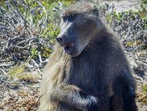 Papio ursinus baboon Stock Photography