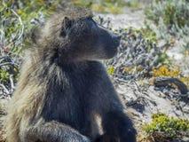 Papio ursinus baboon Royalty Free Stock Image