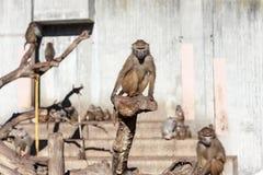 Papion baboon Stock Image