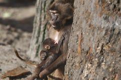 Papionini avec le nourrisson sur le teat_Pavianmutter Image libre de droits