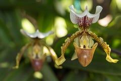 Papiophedilum, withe orchidea Stock Photo