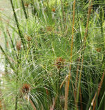 Papiro de la planta en el jardín japonés Imagen de archivo libre de regalías