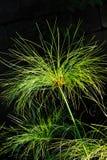 Papiro del Cyperus - particolare Fotografie Stock