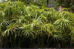 Papiro do Cyperus Fotos de Stock Royalty Free