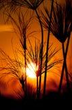 Papiro profilato durante il tramonto Fotografia Stock