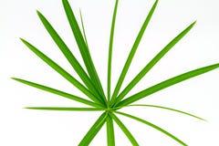 Papiro verde da folha fotos de stock royalty free