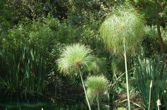 papirusowa roślinnych Zdjęcia Royalty Free