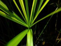 Papirusowy drzewo Zdjęcia Stock