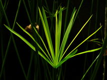 Papirusowy drzewo Zdjęcie Stock