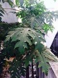 Papita drzewo Zdjęcie Stock
