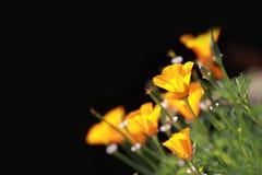 Papoila amarela fotografia de stock royalty free