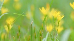 A papoila amarela floresce mover-se na brisa, metragem da bandeja vídeos de arquivo