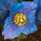 Papoila azul Himalaia de florescência Fotografia de Stock