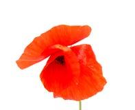 A papoila bonita da flor cresce na natureza selvagem foto de stock royalty free