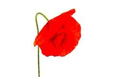 A papoila bonita da flor cresce na natureza selvagem fotos de stock