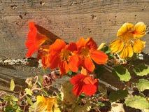 A papoila colorida do verão!!! Imagens de Stock Royalty Free