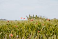 A papoila comum coloca no norte da Espanha fotografia de stock royalty free