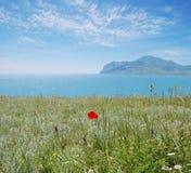 A papoila da flor selvagem Crimeia, Rússia Imagens de Stock Royalty Free