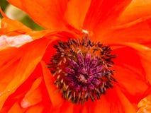 Papoila da laranja de Califórnia Imagem de Stock