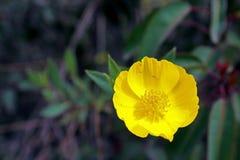 Papoila de árvore amarela na flor Imagem de Stock
