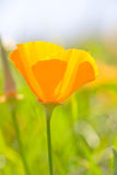 Papoila de Califórnia, californica de Eschscholzia Foto de Stock Royalty Free