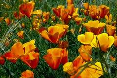 Papoila de Califórnia, californica do eschscholzia Fotos de Stock Royalty Free