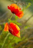 Papoila de dois vermelhos Fotografia de Stock Royalty Free