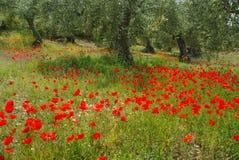 Papoila e oliveira Fotografia de Stock Royalty Free