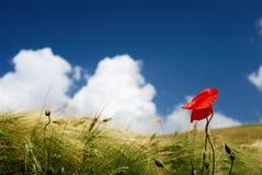 Papoila e trigo vermelhos Imagens de Stock