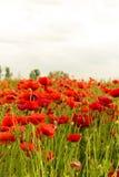 A papoila floresce fora na cor vermelha iluminada bonita Imagens de Stock