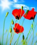 A papoila floresce o prado Fotografia de Stock Royalty Free