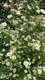 papoila mínima da flor do cortador bonita fotos de stock
